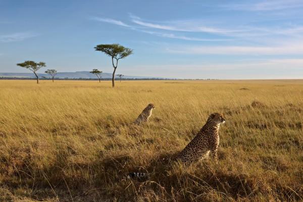 masai_mara_cheetahs